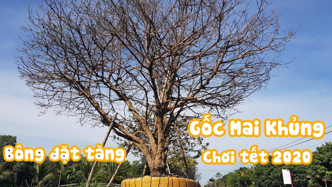 Gốc mai vàng chơi tết 2020 tàng thiên nhiên siêu đẹp ở Kiên Giang liên hệ 0843447650