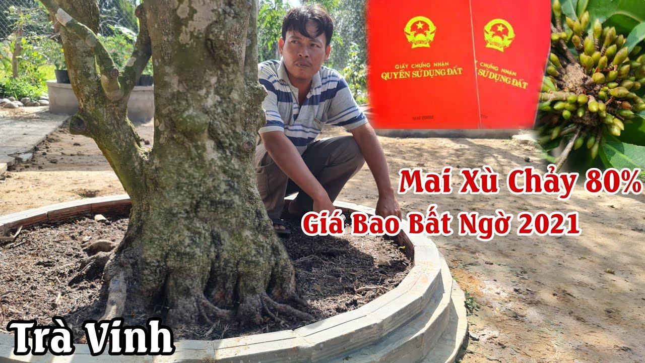 Gốc mai xù bông 80% nở như MAI TIẾN VUA ở Trà Vinh 0984587075