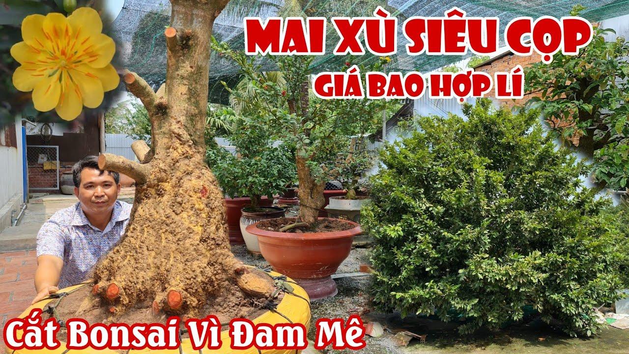 Gốc mai xù chảy SIÊU TO KHỔNG LỒ xuất hiện ở Kiên Giang 0949999478