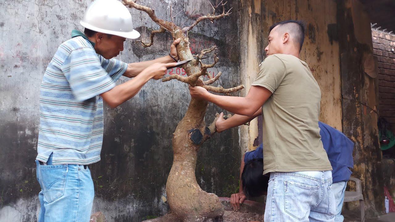 HV 331.giao lưu thành công cây mai thân đế đẹp  tạo thế mới bó bầu cho cây