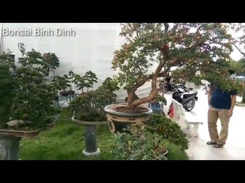 Hải châu khủng, Many beautiful trees at the exhibition - Bonsai Binh Dinh