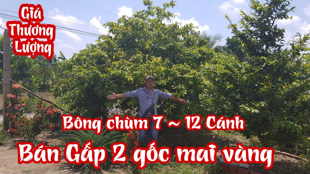 Hai gốc mai giảo Thủ Đức bông chùm 7 đến 12 cánh đang rao bán tại vườn anh Trường