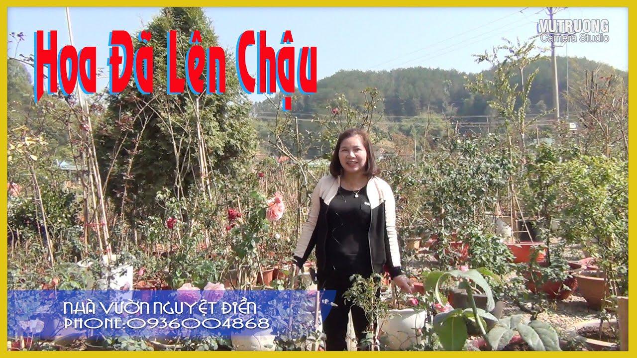 Hoa Hồng Đã Lên Chậu Cực Đẹp  Để Chơi Tết Tại Vườn Hồng Nguyệt Điền LH 0936004868