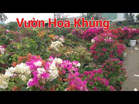 Hoa giấy rực rỡ, vườn hoa nhiều loại hoa khoe sắc