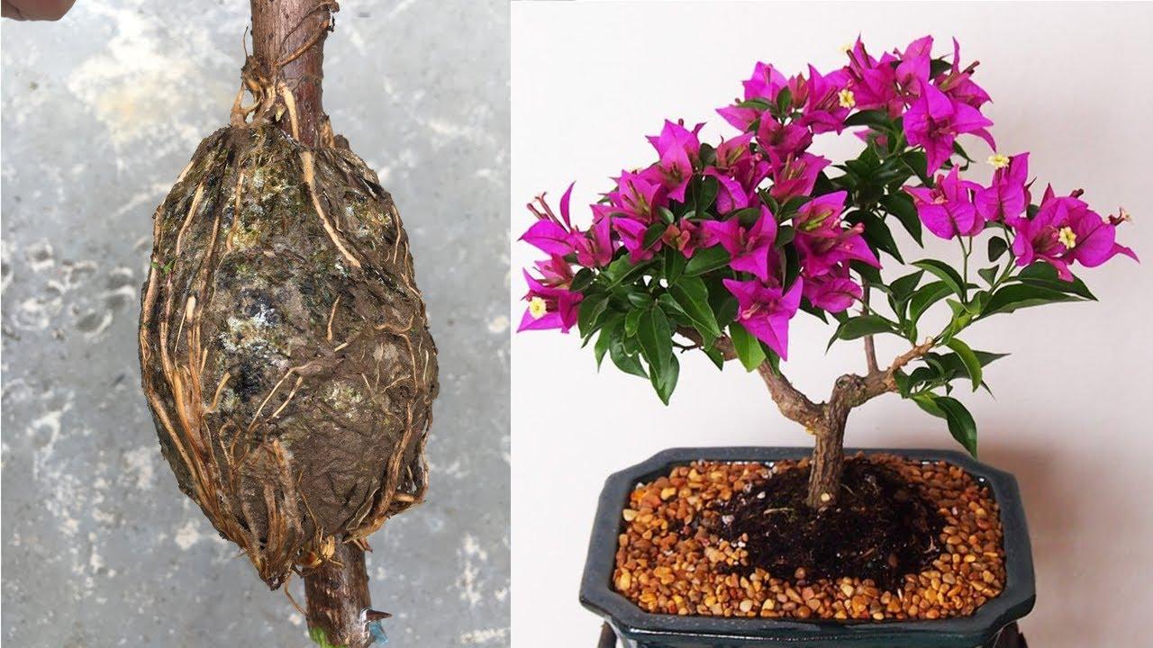 Hướng dẫn kỹ thuật nhân giống hoa giấy bằng phương pháp chiết cành