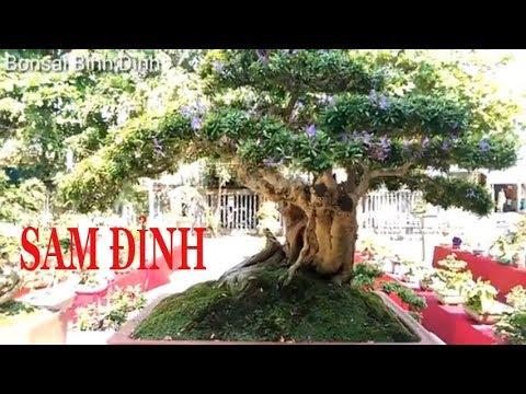 Khó tin linh sam mini đẹp như này - Bonsai Binh Dinh