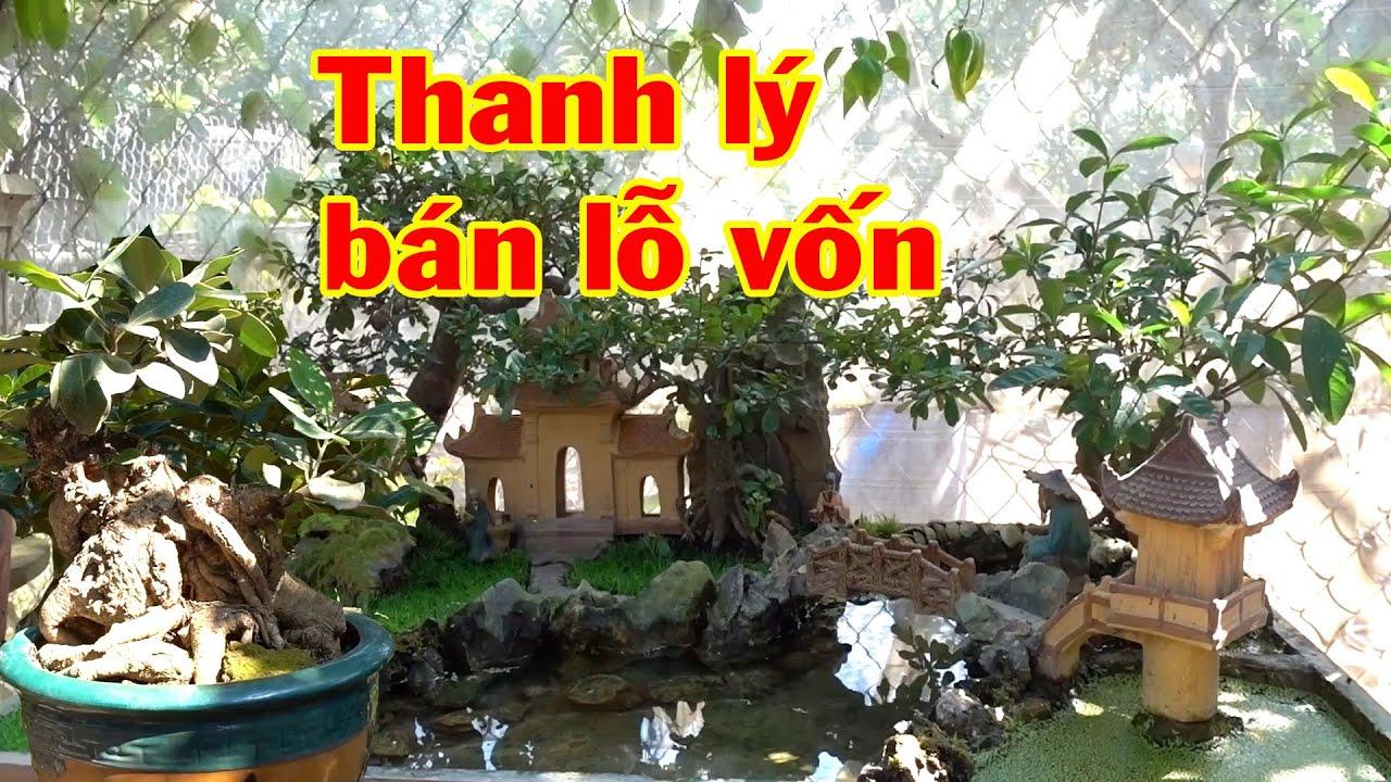 Kiểm tra tuổi chậu Bá Đạo nhất, cây quý cũng thanh lý bán lỗ - cheap bonsai trees