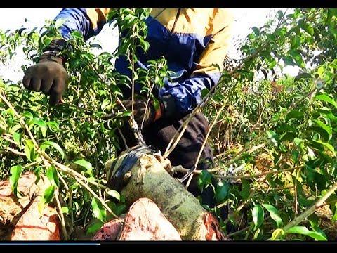 Kinh nghiệm 20 năm định hình cho cây của thợ Nam Điền
