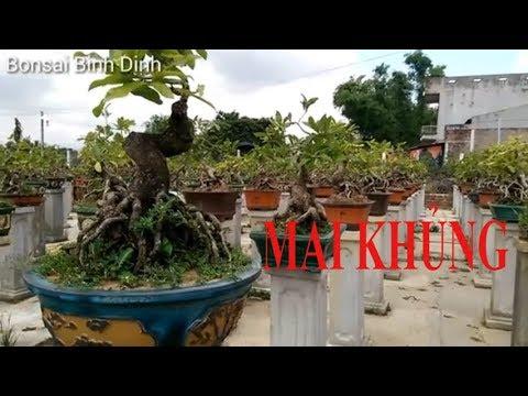 Lạc vài vườn Mai Bonsai Cực Khủng - Bonsai Binh Dinh