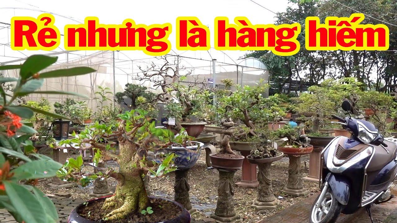 Loại cây ít tiền nhưng hiếm khi mới gặp được cây như thế này - bonsai trees is cheap
