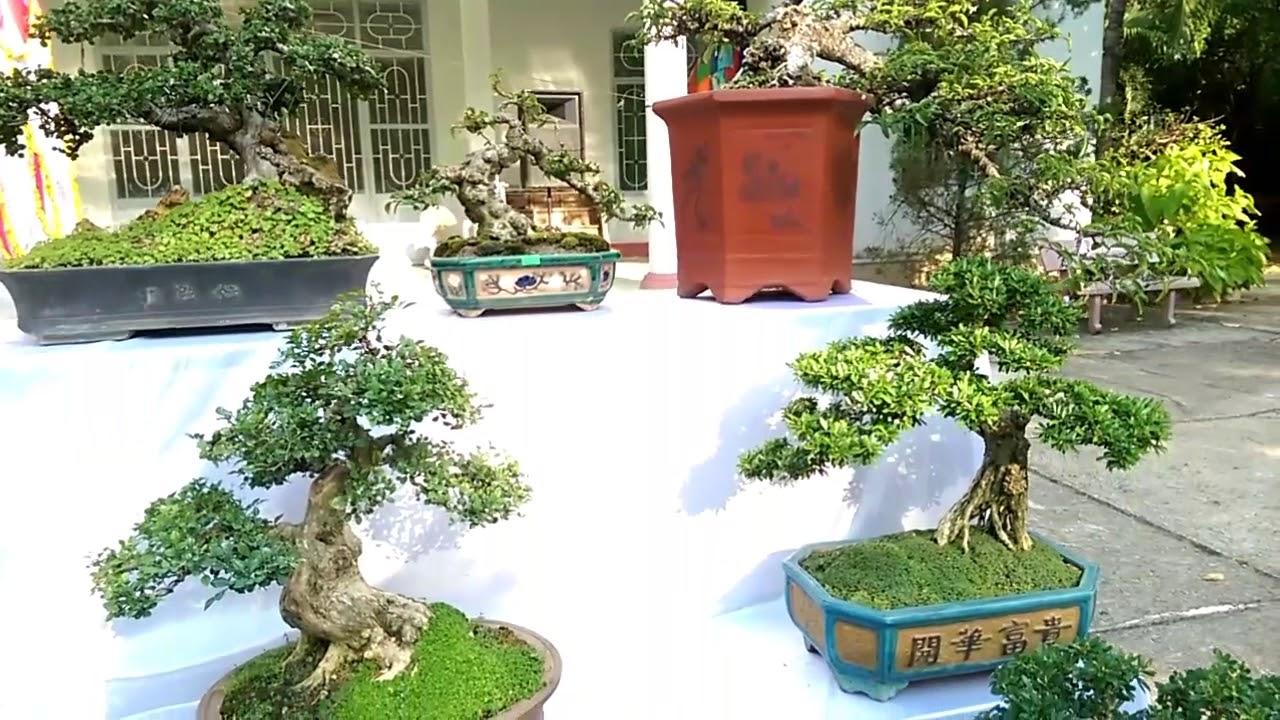 Lộc Vừng siêu nhỏ - Bonsai Binh Dinh