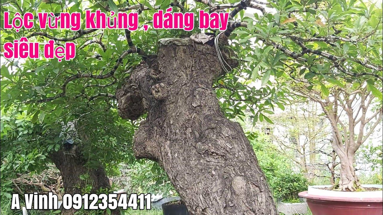 Lộc vừng khủng tại phường Mỹ Hòa TP Long xuyên An Giang gặp A Vinh 0912354411