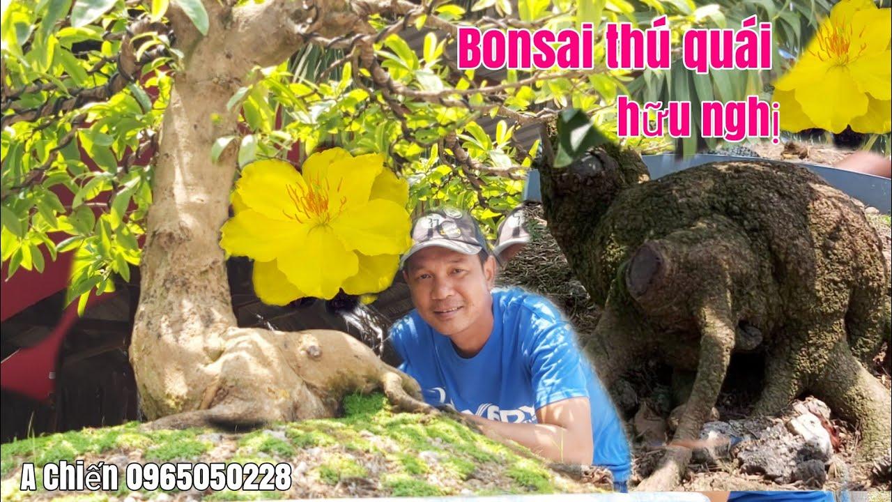 Mai Bonsai đế đẹp bao bông đẹp giá hữu nghị gặp A Chiến 0965050228 Châu Phú AG