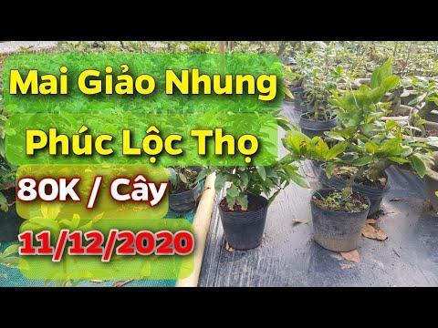 Mai Giảo Nhung - Phúc Lộc Thọ - 80K/ Cây - 11/12/2020