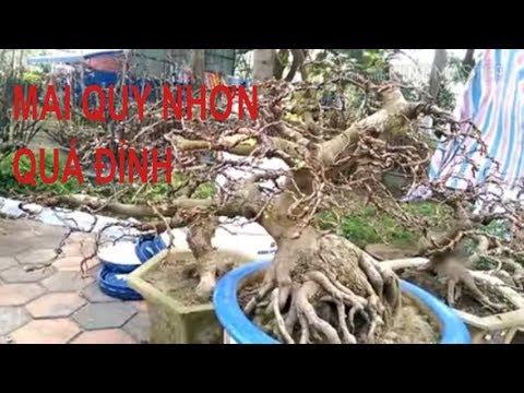 Mai bán tại Quy Nhơn quá đẹp-Bonsai Binh Dinh