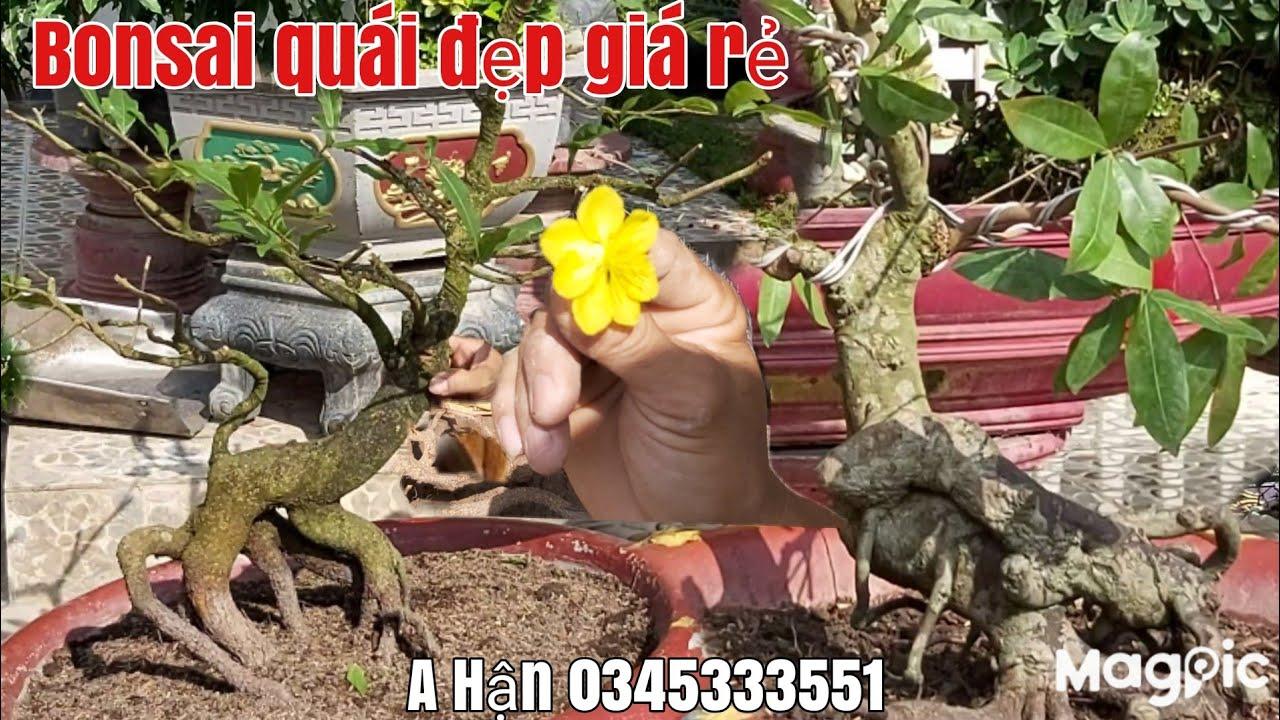 Mai bonsai siêu quái và cây mai tàng đế thú siêu đẹp giá rẻ 0345333551