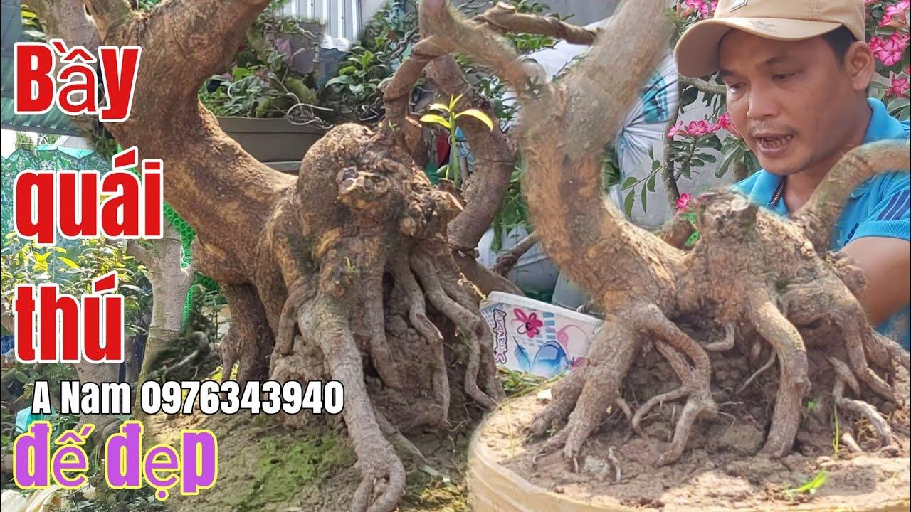 Mai phôi bonsai quái đế đẹp giá rẻ gặp A Nam 0976343940 Châu Phú AG