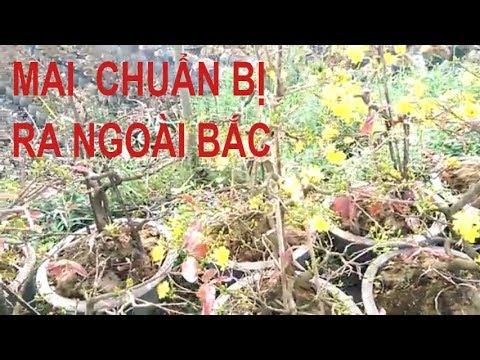 Mai ra phục vụ ngoài Bác nè - Bonsai Binh Dinh