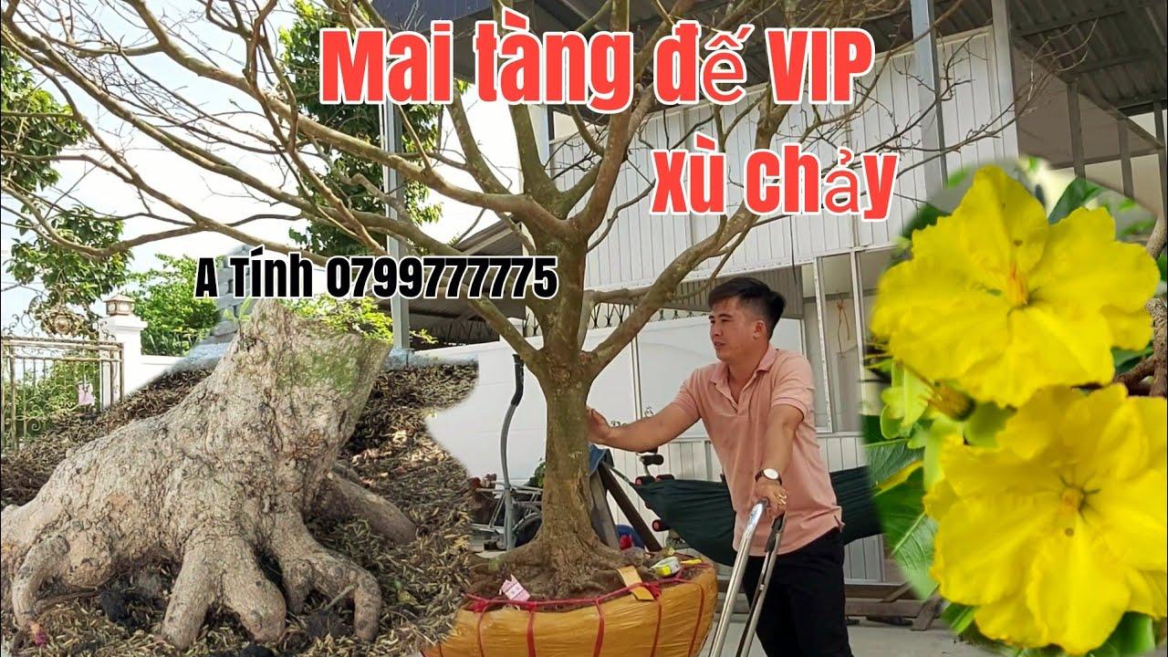 Mai tàng đế VIP và Cây Mai xù thành phẩm dáng thú,bông dảo gặp A Tính 0799777775 Hậu Giang