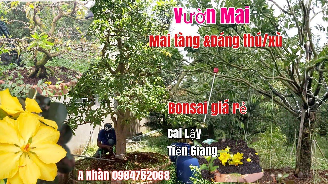Mai tàng một cốt/Bon sai cụm rừng /xù bông đẹp gặp A Nhàn 0984762068 Tiền Giang