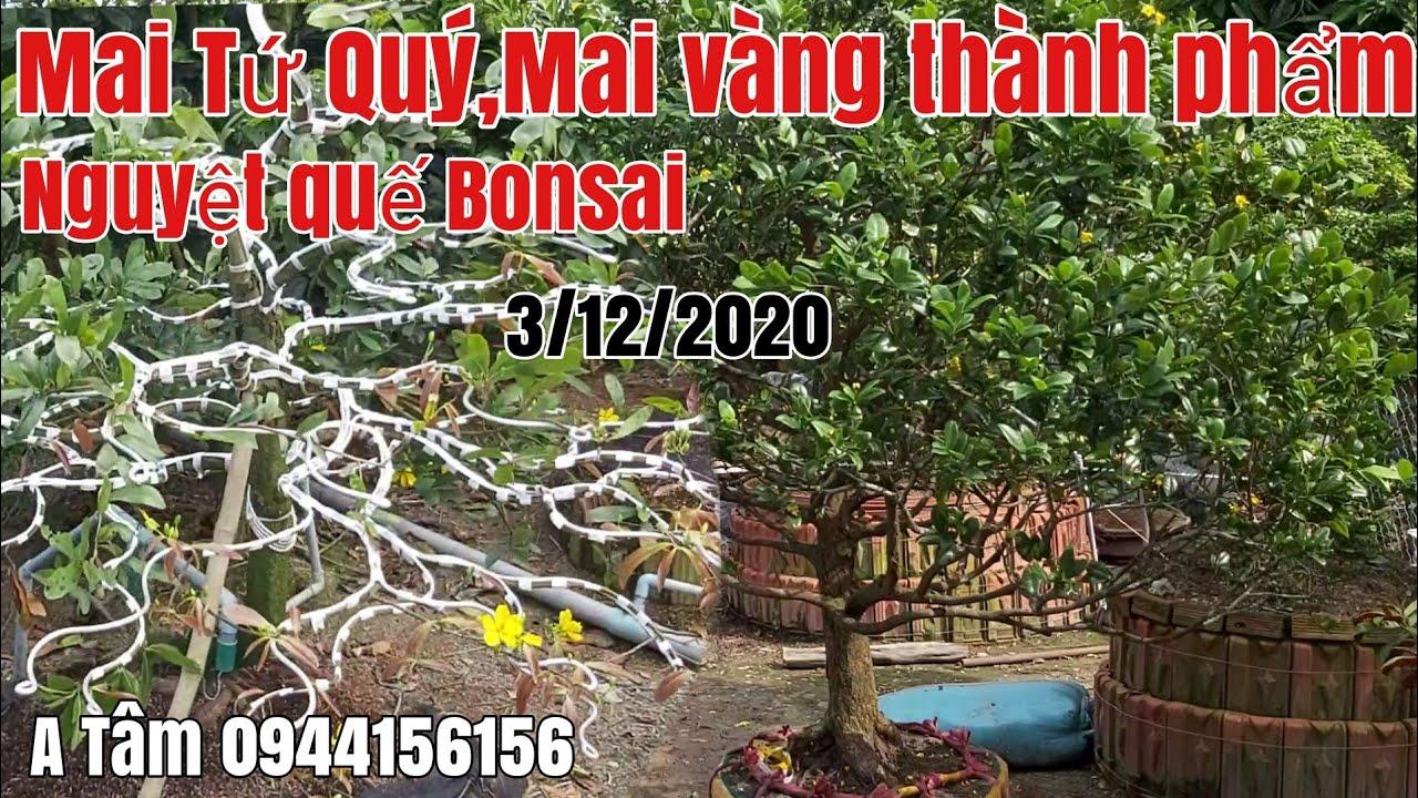 Mai tàng thành phẩm và nguyệt quế bonsai đẹp gặp A Tâm 0944156156