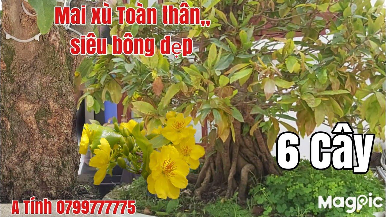 Mai xù toàn thân siêu đế,Bonsai,tàng thành phẩm bao bông đẹp giá rẻ gặp A Tính 0799777775 Hậu Giang