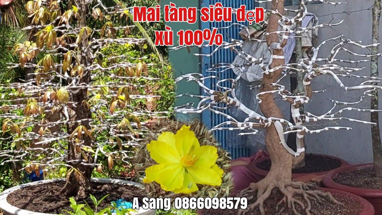 Mai xù toàn thân/Mai thành phẩm đế siêu đẹp /Thanh Mai giá hữu nghị gặp A Sang 0866098579 Hậu Giang