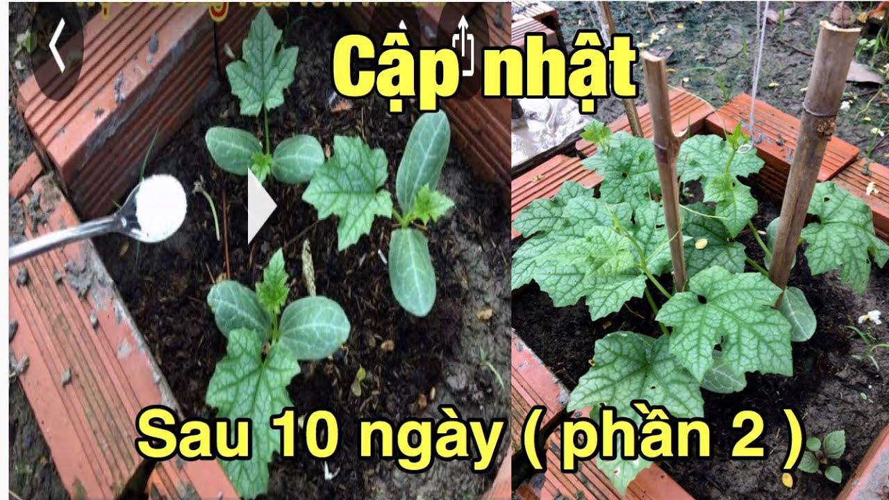 Mẹo trồng rau lớn nhanh xanh tốt - Phần 2