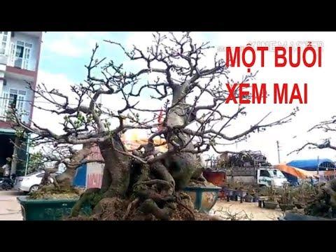 Một Buổi Xem Mai Tết - Bonsai Binh Dinh
