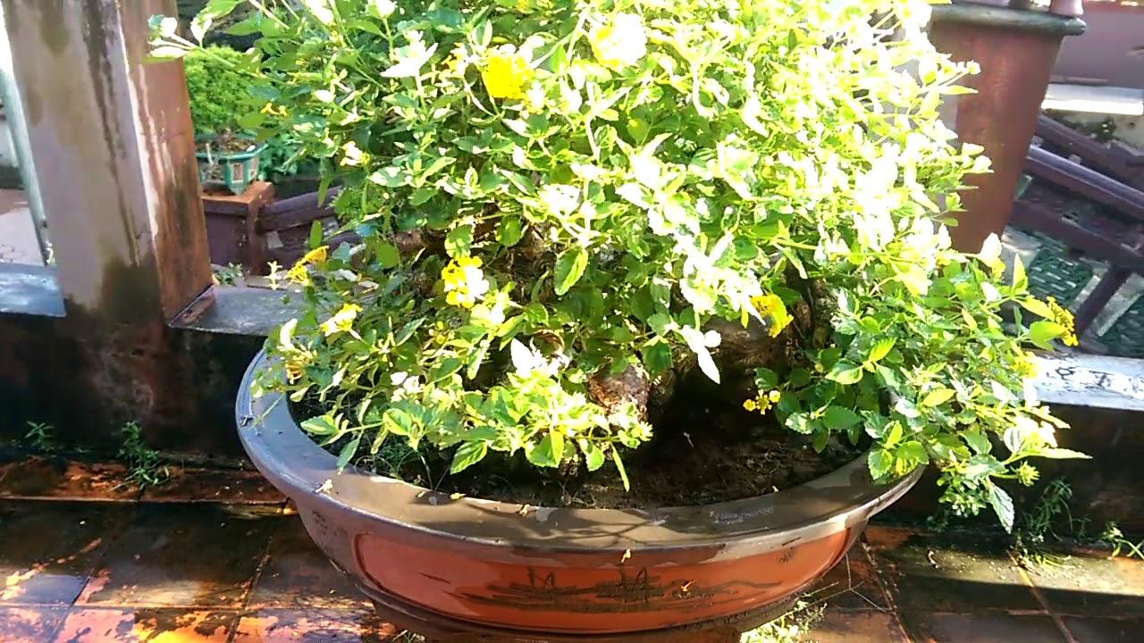 Ngũ sắc  màu vàng-Bonsai Binh Dinh