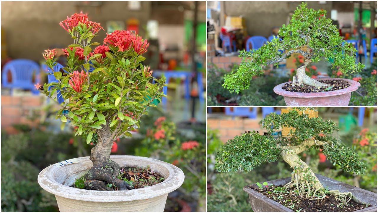 Nguyệt Quế, Linh Sam 86, Trang bonsai thành phẩm GL 26.4 💓 0898 997764 Thanh Triệu