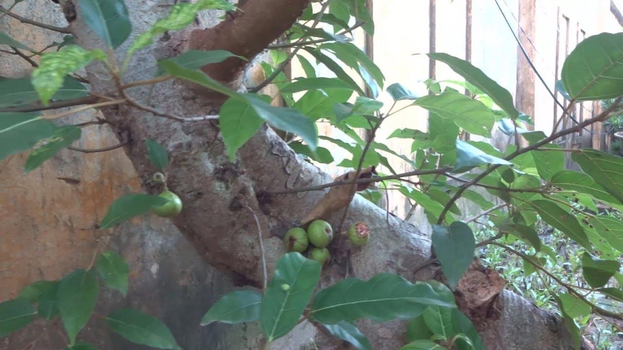 Những cây rẻ tiền nhưng cốt cây cũng được - bonsai trees