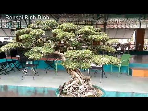 Quá đẳng cấp sam trái quá đẹp - Bonsai Binh Dinh