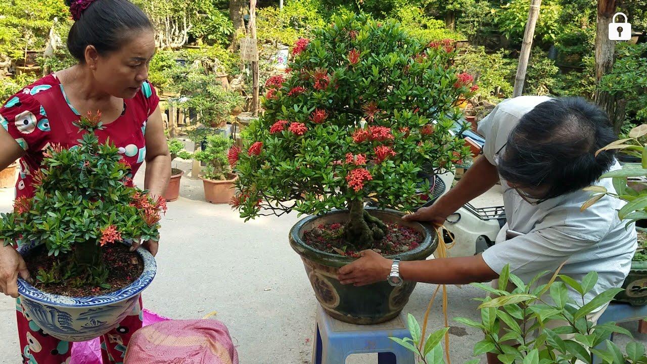 SH.3140.Báo giá 4,5tr cây Bông Trang đỏ đẹp và nhiều Bonsai mini vườn Lập Tâm.