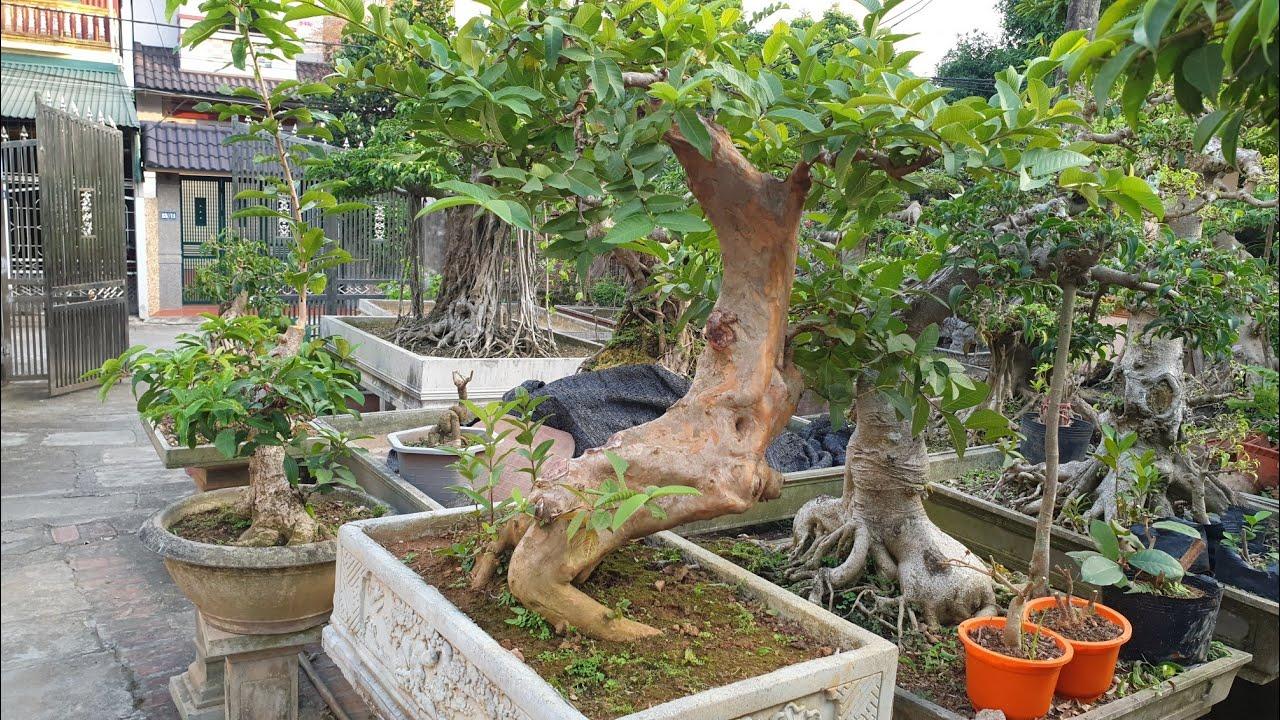 SH.3241.Báo giá 15tr cây Ổi vườn ông Phùng Lục thị xã Sơn Tây. Hà Nội.