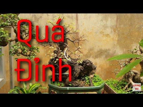 SH.3682. Báo giá cây Gỗ Mun 5,5 triệu vườn Hoàng Hưng.An Khánh. Hà Nội.