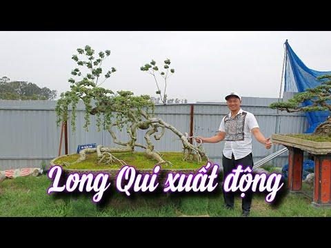 SH.4869. Rất độc đáo cây Duối Long Quy xuất động của anh Tùng Stai.