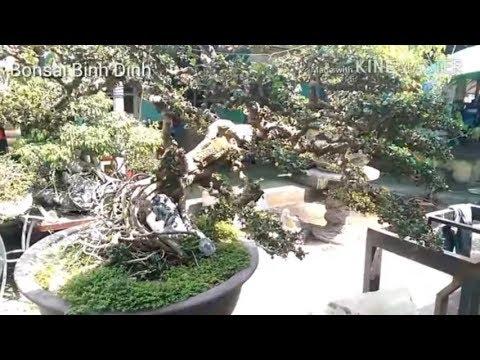 Sam trái Bình Định đẳng cấp khắp nơi - Bonsai Binh Dinh
