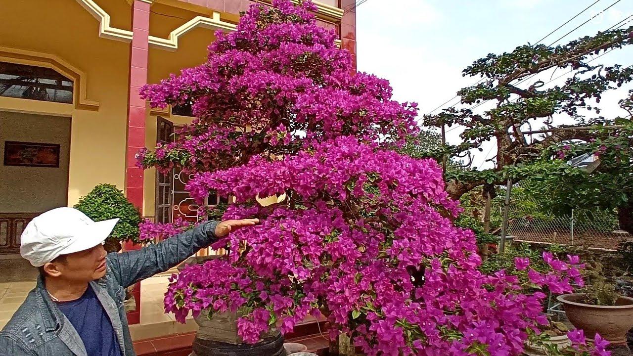 ✅Siêu phẩm hoa giấy rực rỡ lần đầu ra mắt ae chơi cây cảnh bonsai✔️BShp(Mr.Đại 0967828345)
