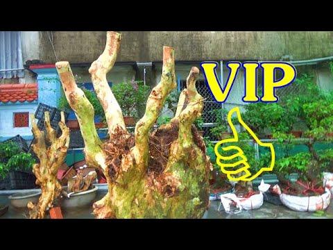 Sung SIÊU quả, tường vi KHỦNG  - VIP, (xin được phục vụ các bác) ngày 18/8, ĐT: 0337496058