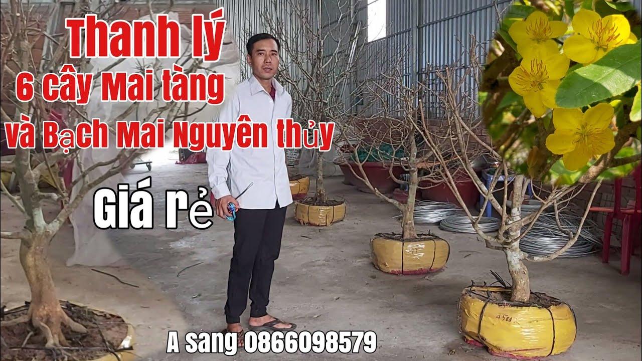 Thanh Lý Mai tàng giá rẻ và Cây Bạch Mai Nguyên thủy gặp A Sang 0866098579 Hậu Giang