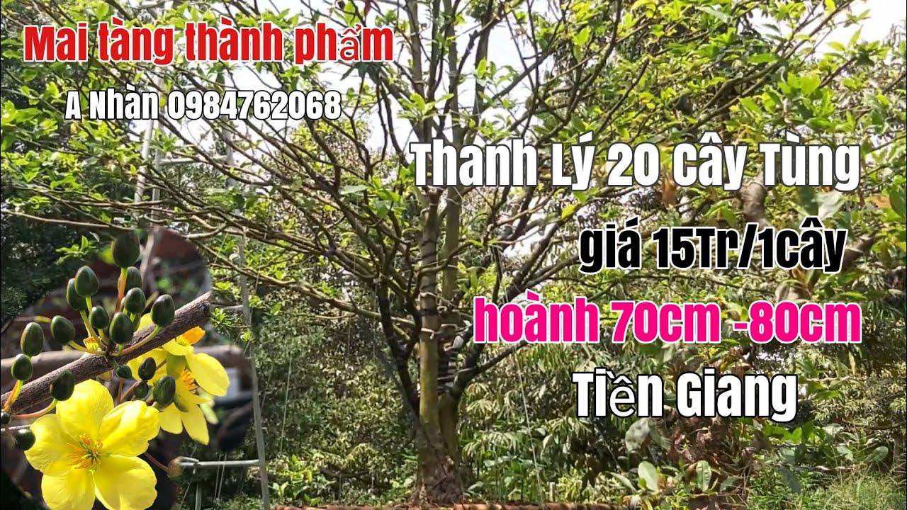 Thanh lý 2 cây mai tàng đẹp và 25 gốc Tùng La Hán tại Tiền Giang gặp A Nhàn 0984762068