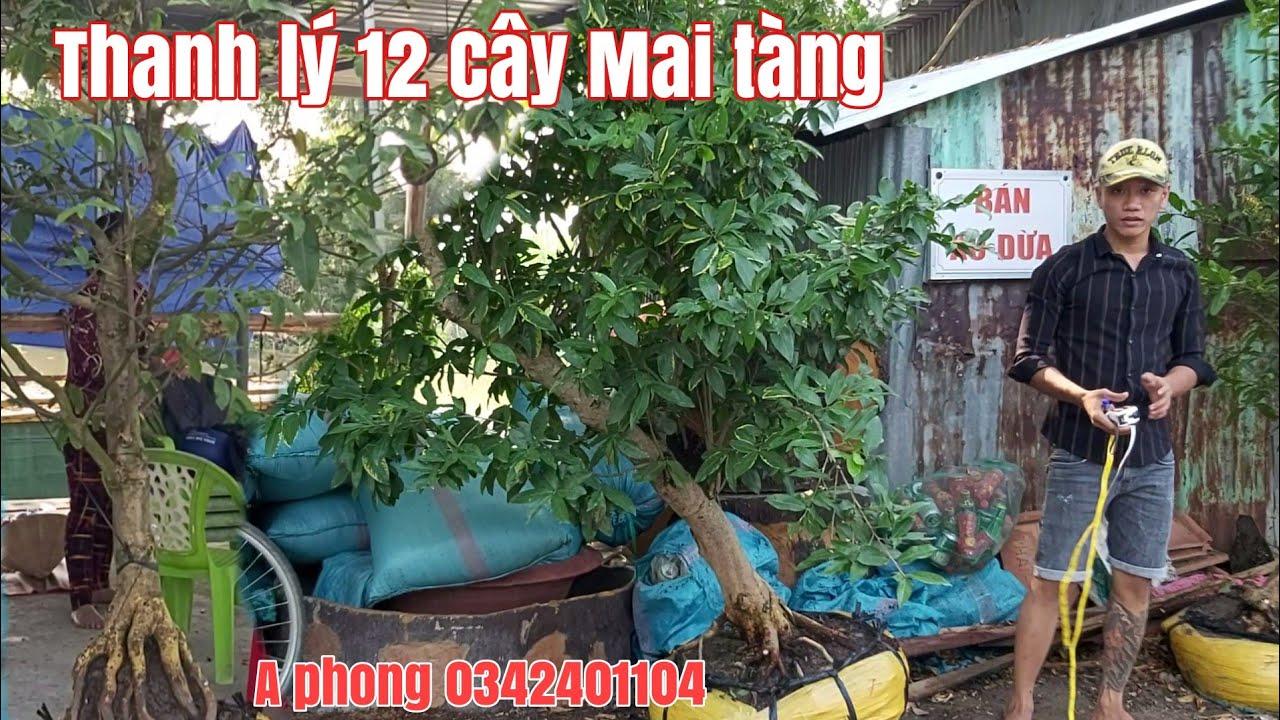 Thanh lý lô mai tàng hoành trên 30cm tại Tháp Mười tỉnh Đồng Tháp gặp A phong 0342401104