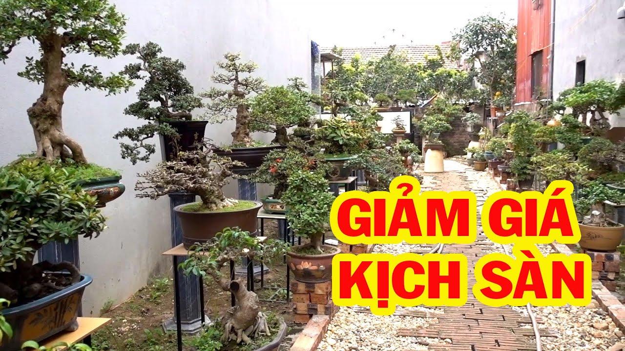 Tiểu cảnh và cây cảnh đẹp giảm giá để các bác chơi tết - price of bonsai tree, pine