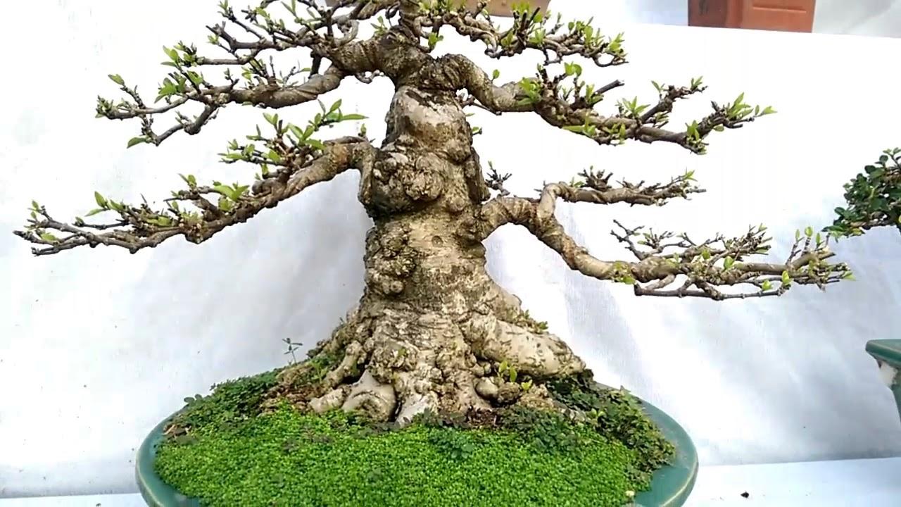 Triển lãm Tây Sơn, 4-2018 những cây mini đỉnh - Bonsai Binh Dinh