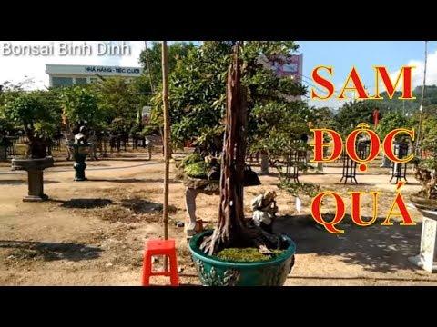 Triển lãm Tuy Phước, sam quá độc đây - Bonsai Binh Dinh