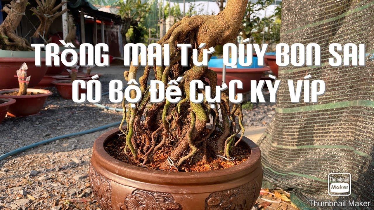 Trồng cây mai tứ qúy bonsai có bộ đế cực víp ĐT0901411168 hoàng mai 26-1-2021âm lịch