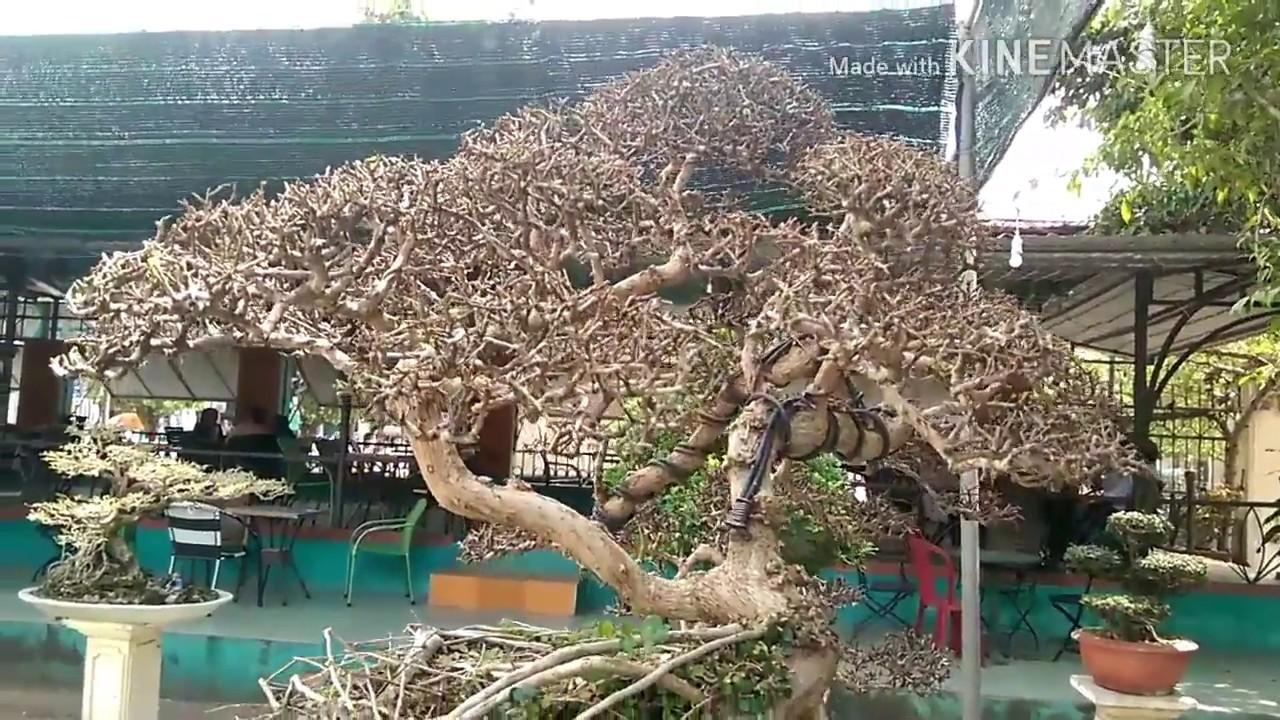 Tươnh lai cây sam trái này thế nào nhỉ ? Bonsai Binh Dinh