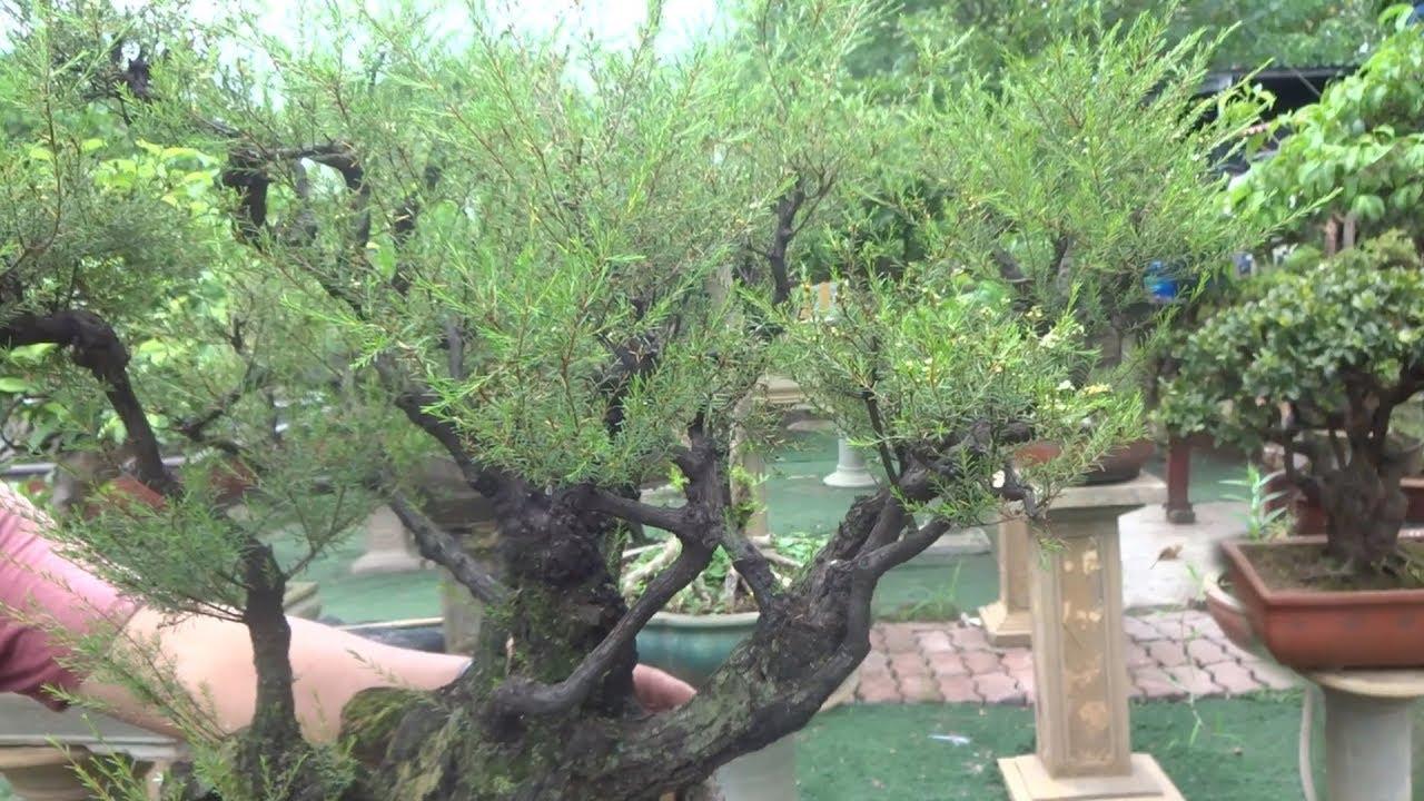 Vua của các loại tùng, nghệ nhân INDONESIA rất thích cây này - beautiful bonsai trees