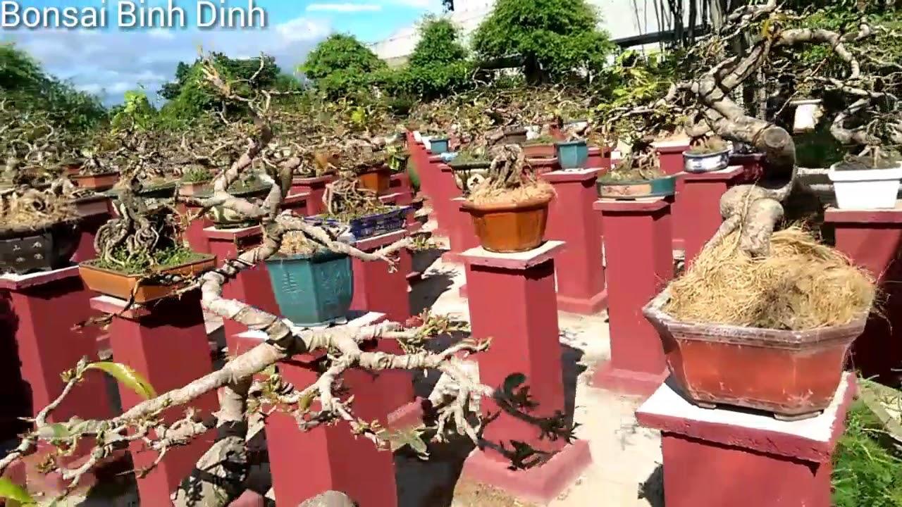 Vườn Mai Trụi Lá Mùa Hè Quá Đẹp - Bonsai Binh Dinh